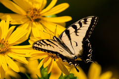 Eastern Tiger Swallowtail Butterfly Stock Photography