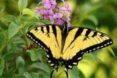 Eastern Tiger Swallowtail Butterfly and Purple Flowers. Close-up of a beautiful yellow and black eastern tiger swallowtail butterfly sipping nectar from purple royalty free stock photos