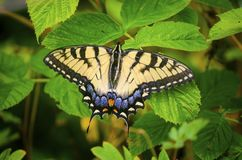 Eastern Tiger Swallowtail Butterfly on raspberry bush leaves royalty free stock photos