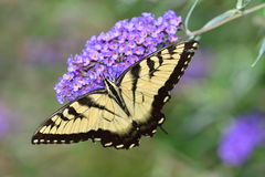 Eastern Tiger Swallowtail Butterfly Stock Images
