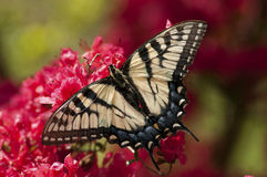 An Eastern Tiger Swallowtail Butterfly sits on Azalea. Royalty Free Stock Photography