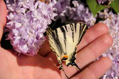 Eastern tiger swallowtail butterfly in spring in garden with purple flowers of syringa lilac tree. Butterfly sitting on hand. Eastern tiger swallowtail royalty free stock photo