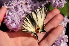 Eastern tiger swallowtail butterfly in spring in garden with purple flowers of syringa lilac tree. Butterfly sitting on hand. Eastern tiger swallowtail royalty free stock image