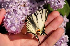 Eastern tiger swallowtail butterfly in spring in garden with purple flowers of syringa lilac tree. Butterfly sitting on hand. Eastern tiger swallowtail stock photography