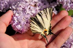 Eastern tiger swallowtail butterfly in spring in garden with purple flowers of syringa lilac tree. Butterfly sitting on hand. Eastern tiger swallowtail stock photo