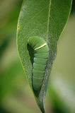 Eastern Tiger Swallowtail Caterpillar Stock Image