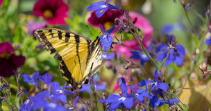 Eastern Tiger Swallowtail with damaged wings. Royalty Free Stock Images