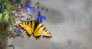 Eastern Tiger Swallowtail with damaged wings. Stock Image