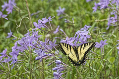 Eastern Tiger Swallowtail feeding on purple Phylox. Stock Photos