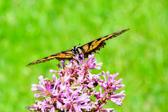 Eastern Tiger Swallowtail on Flower - Front View Royalty Free Stock Photos