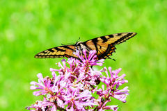 Eastern Tiger Swallowtail - Front View Stock Photography