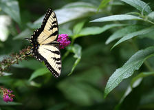 Eastern Tiger Swallowtail Royalty Free Stock Photography