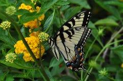 Eastern Tiger Swallowtail Royalty Free Stock Photos