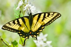 Eastern Tiger Swallowtail on mock orange blossoms High Park Royalty Free Stock Photos