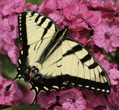 Eastern Tiger Swallowtail. One Eastern Tiger Swallowtail butterfly on bright pink flowers Stock Photo