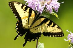 Eastern Tiger Swallowtail (Papilio glaucas) Royalty Free Stock Photography