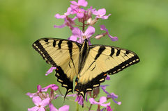 Eastern Tiger Swallowtail (Papilio glaucus) Royalty Free Stock Images