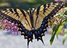 Eastern Tiger Swallowtail (Papilio glaucus) Royalty Free Stock Photos
