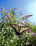 Eastern Tiger Swallowtail (Papilio glaucus) Stock Image