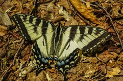 Eastern Tiger Swallowtail Papilio glaucus, Adirondack Forest Preserve, New York stock image