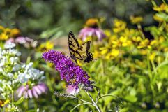 Eastern tiger swallowtail, Papilio glaucus. Is a species of swallowtail butterfly native to eastern North America Royalty Free Stock Images