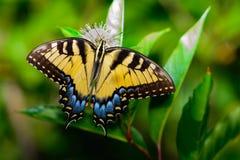 Eastern tiger swallowtail (Papilio glaucus) Stock Photos