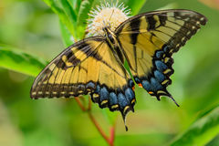 Eastern tiger swallowtail (Papilio glaucus) Royalty Free Stock Image