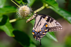 Eastern tiger swallowtail (Papilio glaucus) Stock Photo