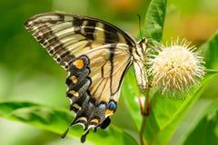 Eastern tiger swallowtail (Papilio glaucus) Royalty Free Stock Photos