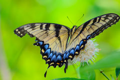 Eastern tiger swallowtail (Papilio glaucus) Stock Photography
