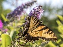 Eastern tiger swallowtail, Papilio glaucus Royalty Free Stock Photos