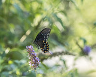 Eastern tiger swallowtail, Papilio glaucus Stock Photography