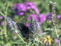 Eastern tiger swallowtail, Papilio glaucus Royalty Free Stock Photo