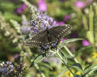 Eastern tiger swallowtail, Papilio glaucus Stock Images