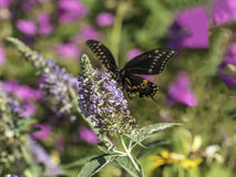Eastern tiger swallowtail, Papilio glaucus. Is a species of swallowtail butterfly native to eastern North America Stock Photo