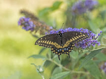 Eastern tiger swallowtail, Papilio glaucus. Is a species of swallowtail butterfly native to eastern North America Stock Photos