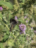 Eastern tiger swallowtail, Papilio glaucus Royalty Free Stock Images