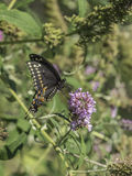 Eastern tiger swallowtail, Papilio glaucus. Is a species of swallowtail butterfly native to eastern North America Royalty Free Stock Image