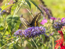 Eastern tiger swallowtail, Papilio glaucus. Is a species of swallowtail butterfly native to eastern North America Stock Photography