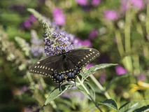 Eastern tiger swallowtail, Papilio glaucus. Is a species of swallowtail butterfly native to eastern North America Royalty Free Stock Photos