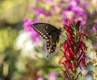 Eastern tiger swallowtail, Papilio glaucus. Is a species of swallowtail butterfly native to eastern North America Royalty Free Stock Photography