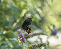Eastern tiger swallowtail, Papilio glaucus. Is a species of swallowtail butterfly native to eastern North America Stock Image