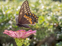 Eastern tiger swallowtail, Papilio glaucus Stock Photo