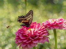Eastern tiger swallowtail, Papilio glaucus Stock Photos