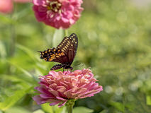 Eastern tiger swallowtail, Papilio glaucus Royalty Free Stock Photography
