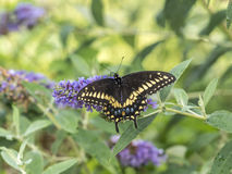 Eastern tiger swallowtail, Papilio glaucus. Is a species of swallowtail butterfly native to eastern North America Royalty Free Stock Photo