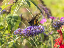 Eastern tiger swallowtail, Papilio glaucus. Is a species of swallowtail butterfly native to eastern North America Stock Images