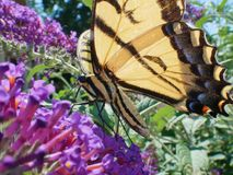 Eastern Tiger Swallowtail Papilo Glaucus butterfly closeup stock photo