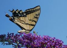 Eastern Tiger Swallowtail Papilo Glaucus butterfly. On purple flowered butterfly bush with blue sky background stock image
