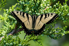 Eastern Tiger Swallowtail. Perched on a Juniper Tree royalty free stock image